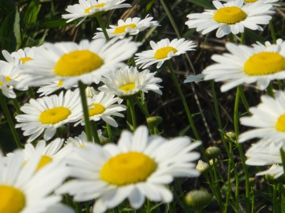 perfect graceful roadside daisies