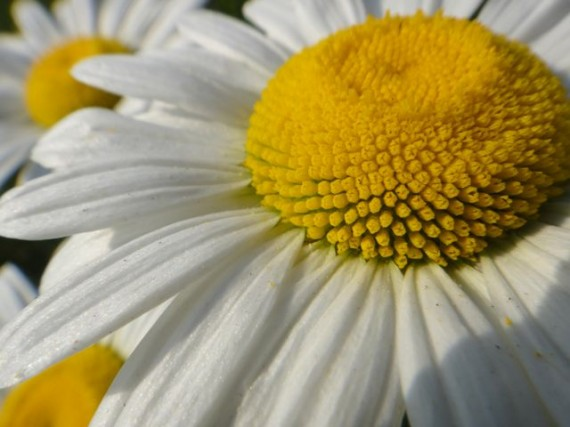 close up of roadside daisy