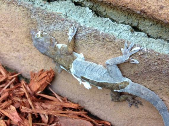 Florida lizard shedding it's skin