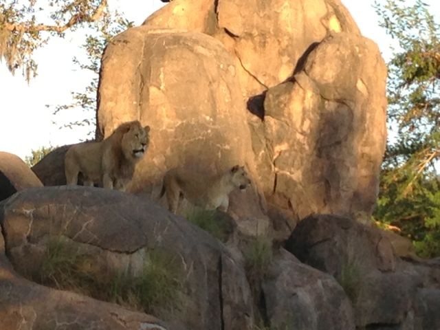 photo of male and female Lions at Disney's Animal Kingdom Theme Park