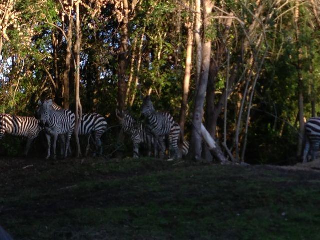 photo of zebras at Disney's Animal Kingdom Theme Park