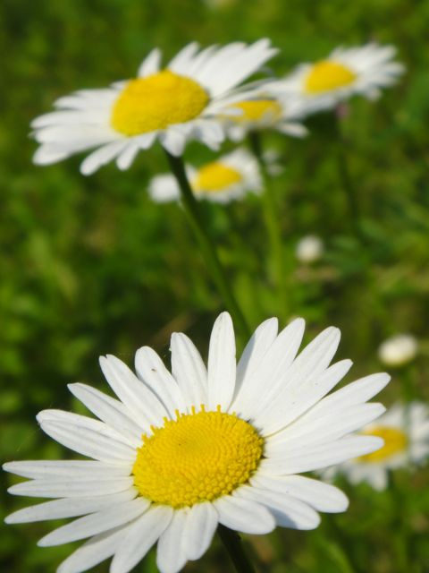 a couple brilliant daisies in a field