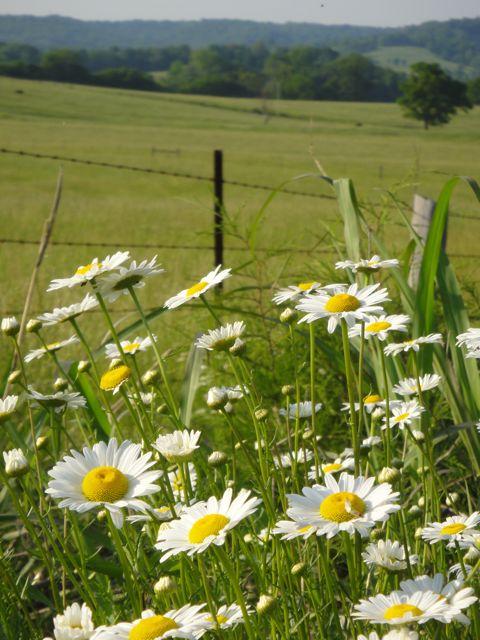 roadside wildflowers in Tennessee