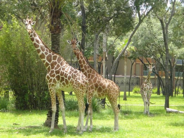Three Giraffes at Disney's Animal Kingdom Park
