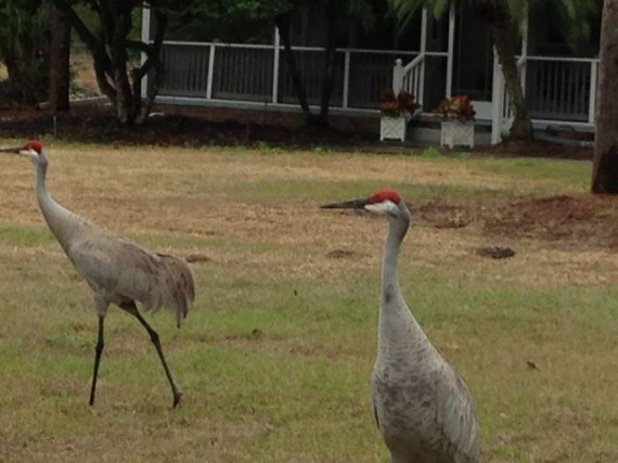 Florida Sand Hill Cranes in homeowner yard