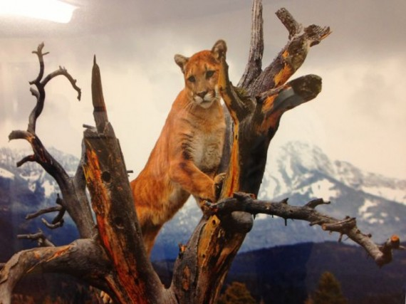 Photo of Mountain Lion