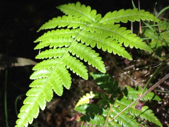 Common fern in Volcanoes National Park Hawaii