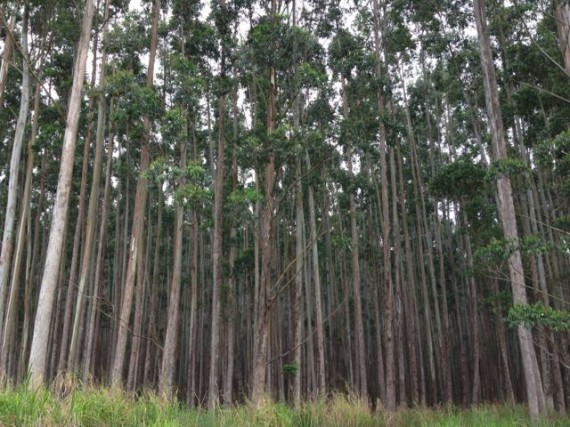 Eucalyptus tree forest near Hilo Hawaii