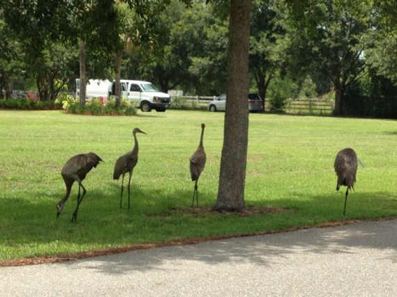 Two adult and two young Florida Sand Hill Cranes