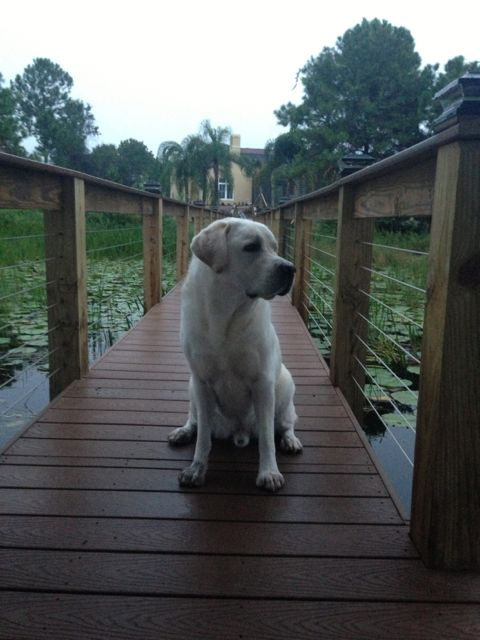 White Lab on Orlando lakefront dock