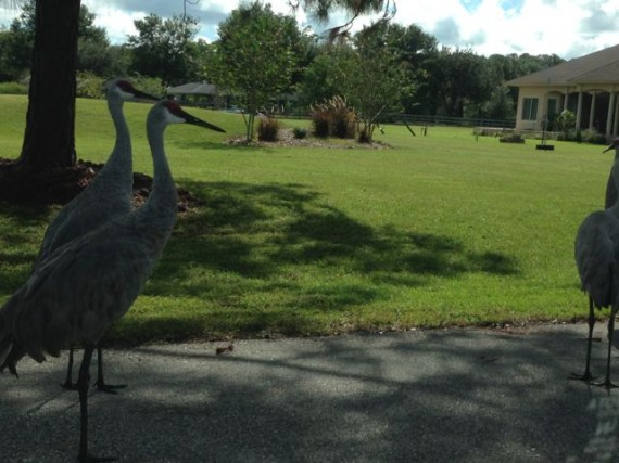 Florida Sand Hill Crane family uses our street for there daily family meetings