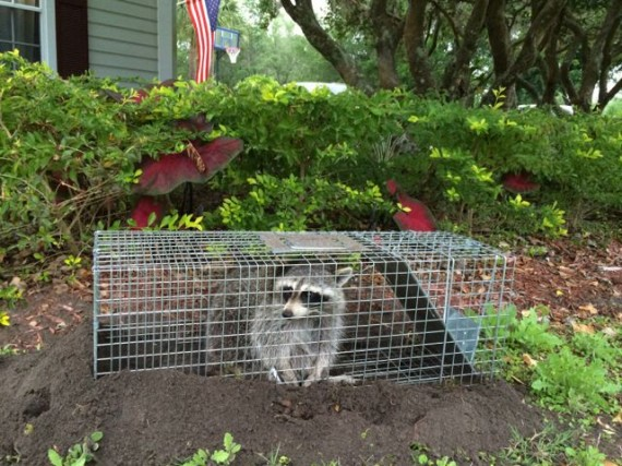 Raccoon in homeowner trap