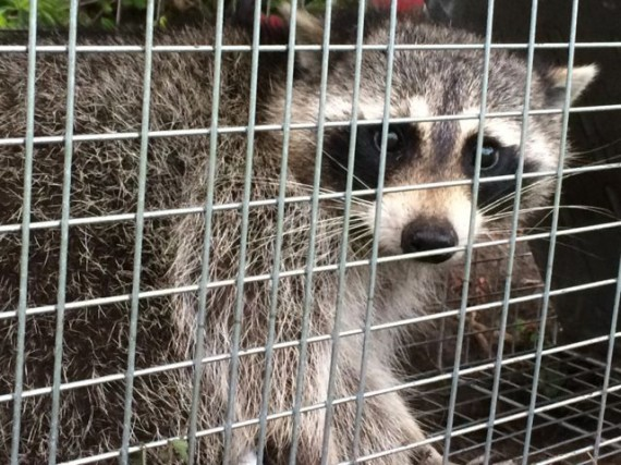 Raccoon in Florida homeowner trap