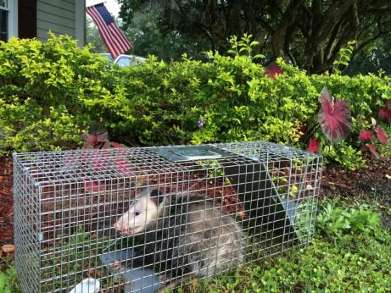 Opossum in Florida homeowner live trap