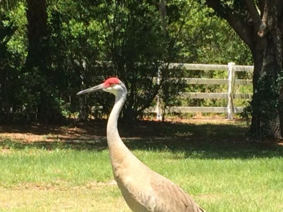 Florida Sand Hill Crane in yard