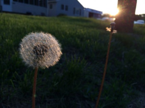 Dandelion at sunrise