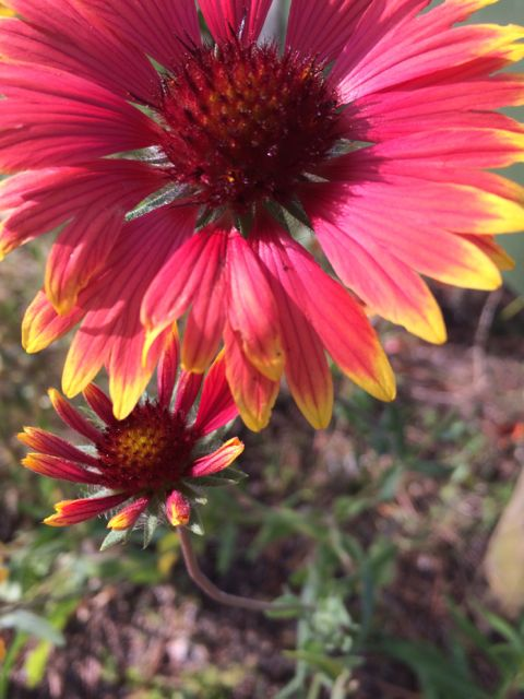 florida blanket flower