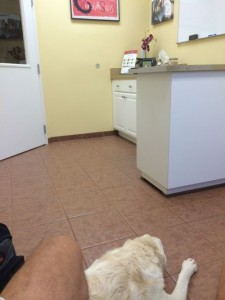white Lab resting in Vet waiting room