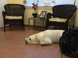 White Lab waiting for emergency vet  in Estero, Florida