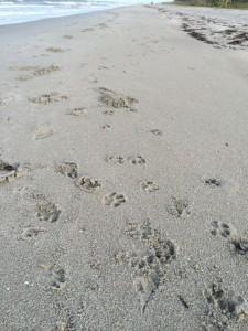 Dog tracks in sand on Sanibel Island