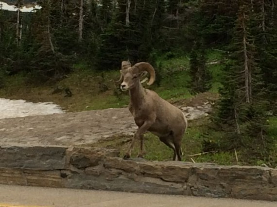 Big Horn Sheep at Logan Pass parking lot