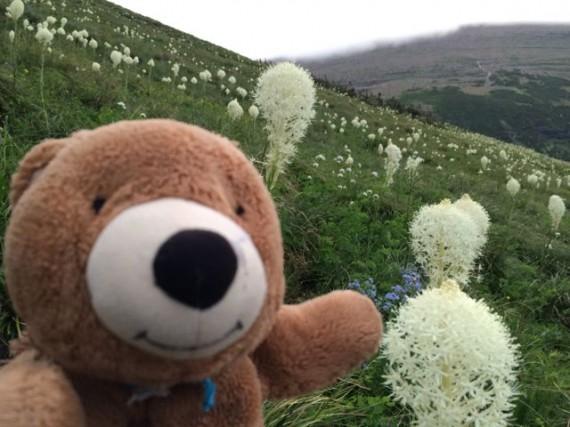 Teddy Bear and Glacier National Park Beargrass