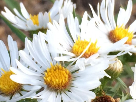 Daises at Rocky Mountain National Park