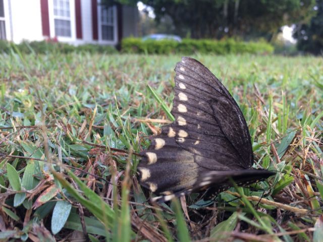 Butterfly on front yard grass