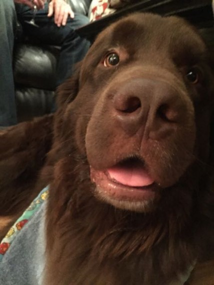 Newfoundland Dog closeup