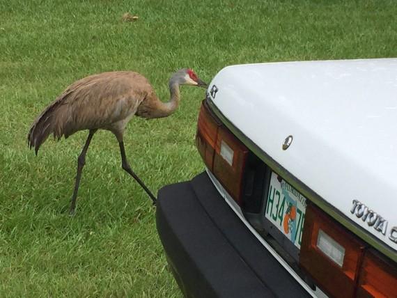 Sandhill Crane in Orlando driveway