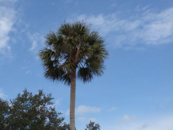 Florida State Tree