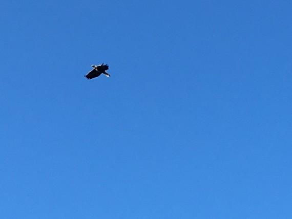 American Bald Eagle near Walt Disney World
