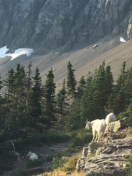 Mountain Goats at Hidden Lake overlook