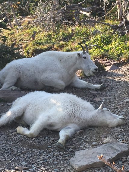 Mountain Goats at Hidden Lake overlook