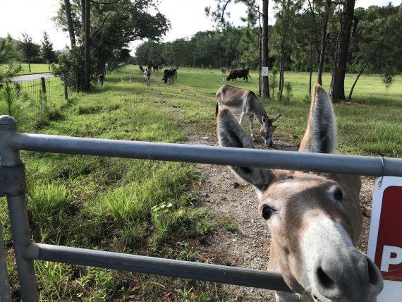 Donkeys near Disney University