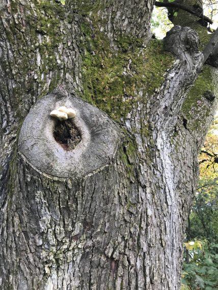 mushroom in tree