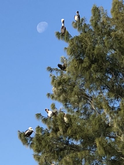 Pelicans in tree with moon
