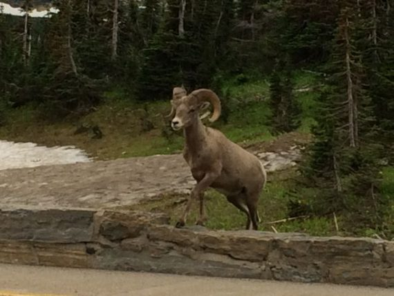 Big Horn Ram at Logan Pass