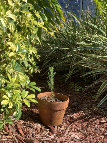 Redwood seedling in Florida