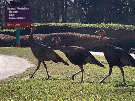 Wild Turkeys at Disney World