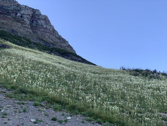 Prolific Beargrass