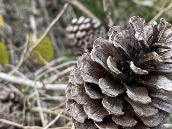 Florida pine cone