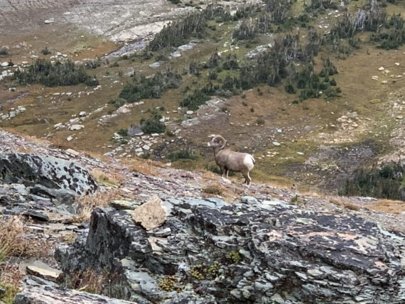 Big Horn Sheep in Glacier