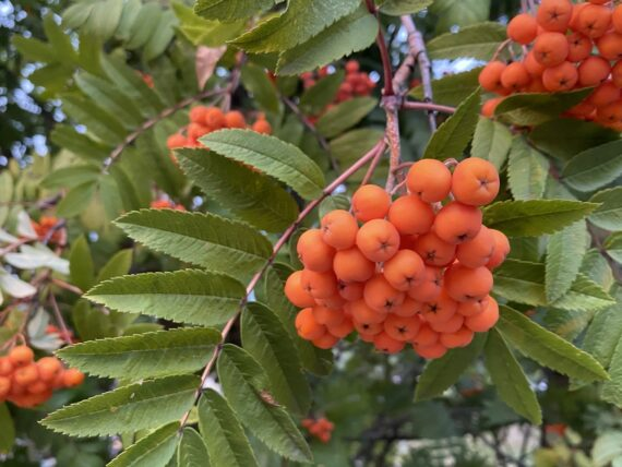 mountain ashberry berries