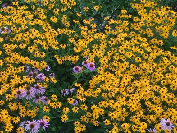 large patch of black eyed-suzan flowers